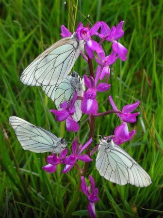 mon arbre à papillons 811