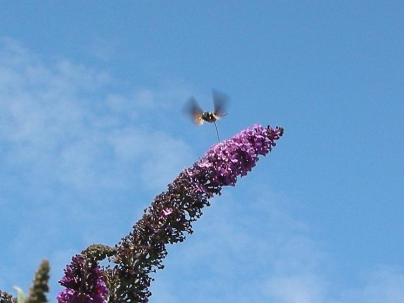 photographier les insectes, aussi. Sphinx10