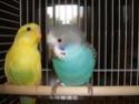 Voici Picasso et Picolo!!! Oiseau18