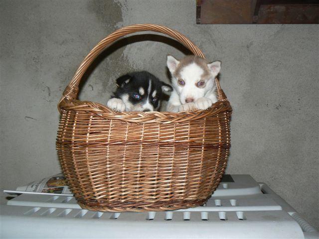 Nos loups grandissent, postez nous vos photos - Page 3 P1040610
