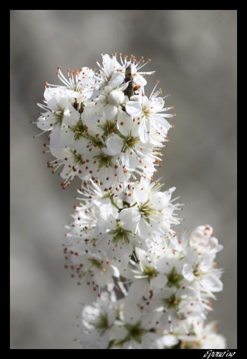 le printemps Flower15