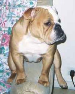LE BULLDOG ANGLAIS 2004-013