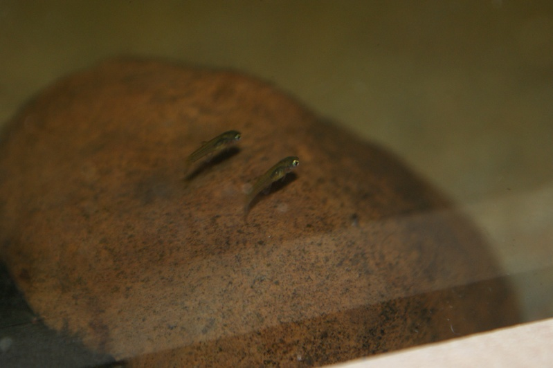 Girardinus metallicus Dsc08818