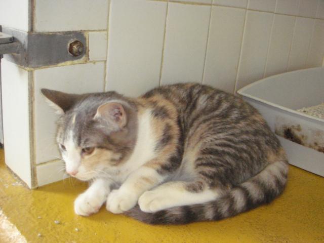 Trouvée à Colomiers chaton femelle tricolore 5 mois - 28/08 Dsc03814