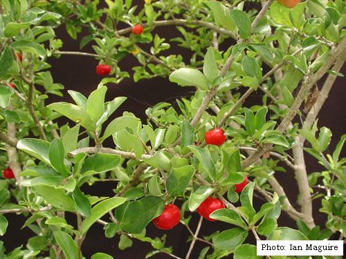 Malpighia punicifolia (acerola) Barbad10