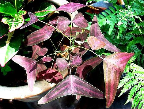 Plante papillon Christ10