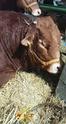 50eme Foire agricole de Réalmont (81) 4 & 5 Avril 2009 0312
