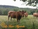 Les photos vaches Vache_11