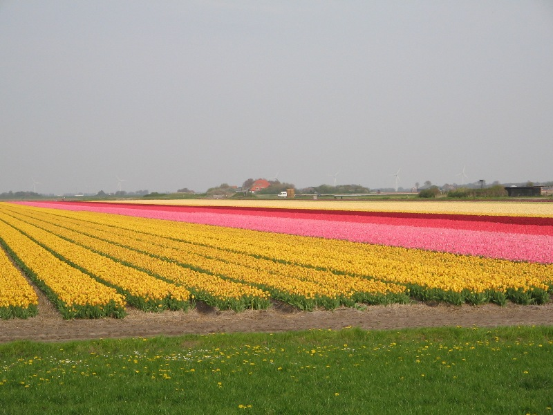 Tulipes from Holland Img_0220