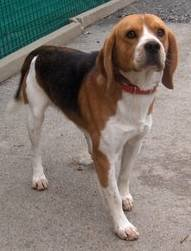CHARLY, beagle mâle, 1 an 1/2 (42) Charly10