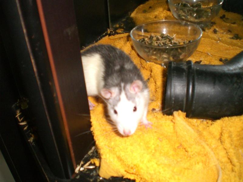 1 rat mâle husky de 6 mois à Hatten (67) Cimg3610