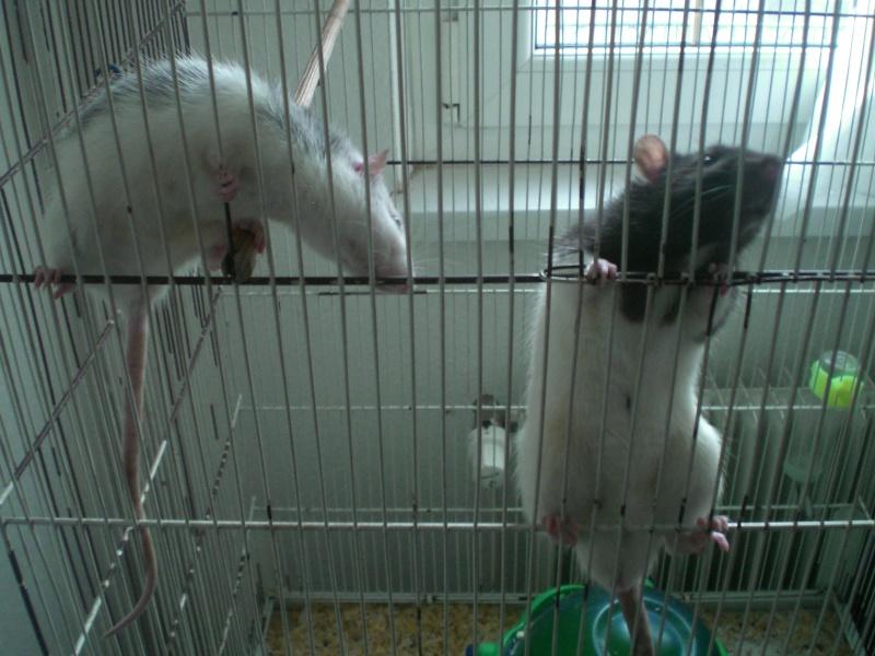 1 rat mâle husky de 6 mois à Hatten (67) Cimg3710