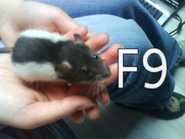 3 ratons de 8 semaines à adopter URGENT Dsc00313