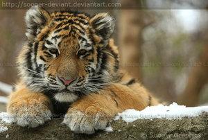 DIARY OF SOKAR'S CREATIONS [ CLOSED =( ] Tigre10