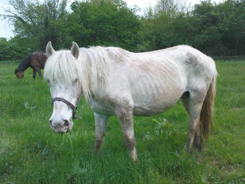 Pascaline, jument grise, 17 ans (Placée) Dsc01112