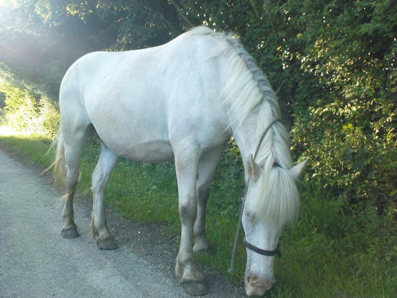 Pascaline, jument grise, 17 ans (Placée) Dsc01413