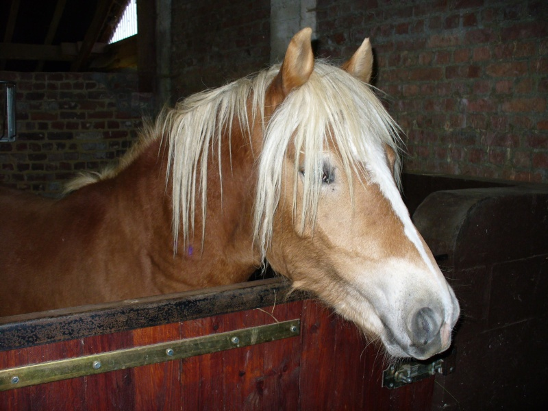 William, Haflinger, PP, 2 ans (ADOPTE) Photo210