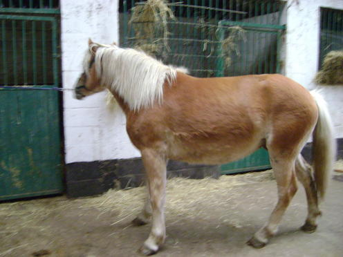 William, Haflinger, PP, 2 ans (ADOPTE) Saucis10
