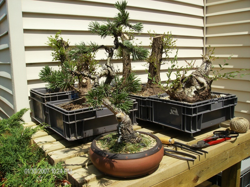 Overwatering a Japanese White Pine Trees516