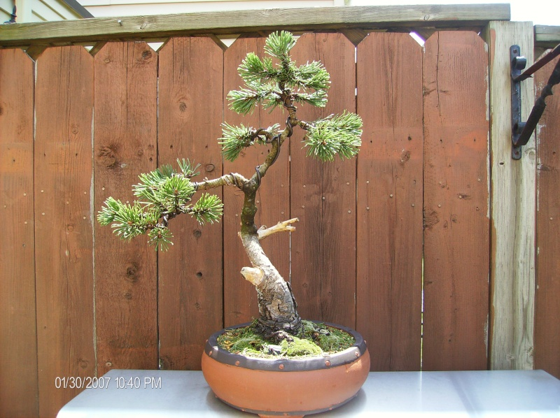 Overwatering a Japanese White Pine Trees517