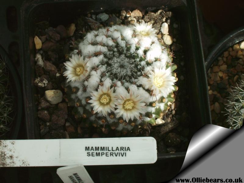 Mammillaria....... Mammil13