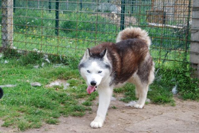 Andrea, siberian hushky,11 ans (58)   DECEDEE - Page 3 Dsc_1411