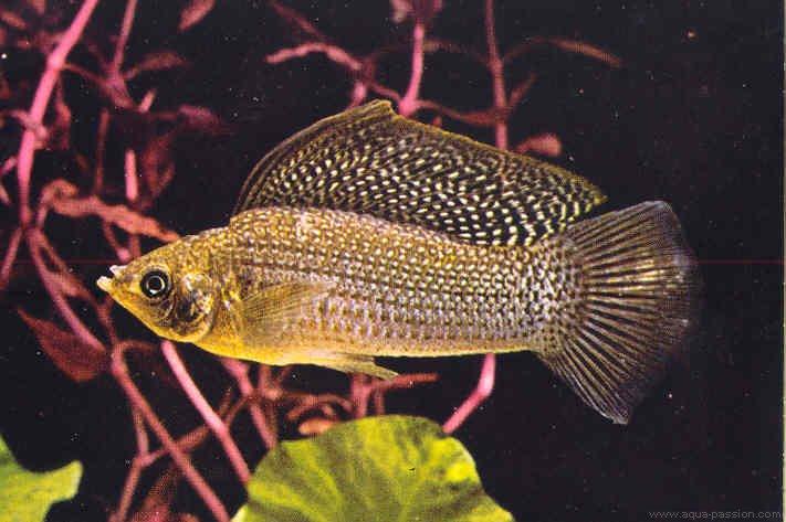 Poecilia velifera (molly-voile) Poecil11