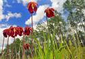 Champs de Darlingtonia Carlifornia Fleur_12