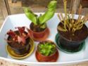 Les plantes de la Belle Mère Les_4_10