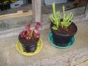Les plantes de la Belle Mère Sarrac10