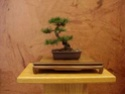 Bonsai goes to Church (and Synagog) Shohin10