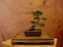 Bonsai goes to Church (and Synagog) Shohin11