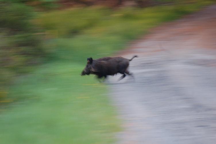 Cochon de course Sangli12