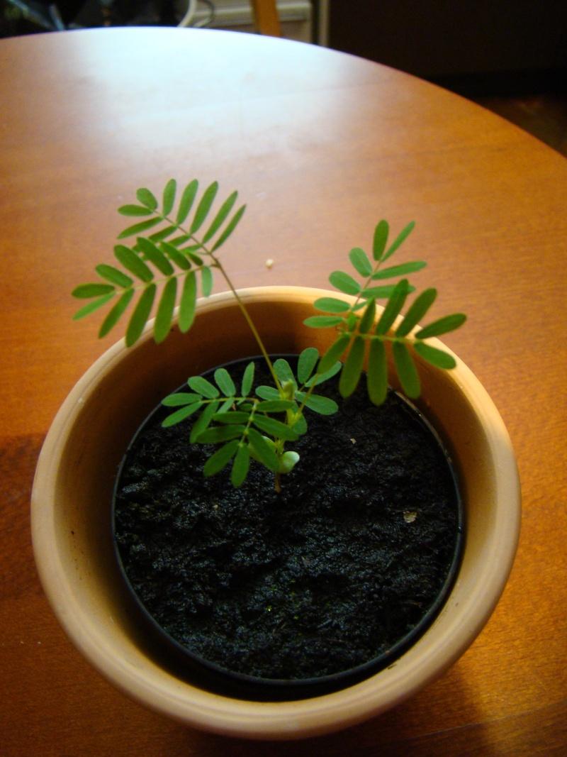 Semis Mimosa Pudica Dsc04610