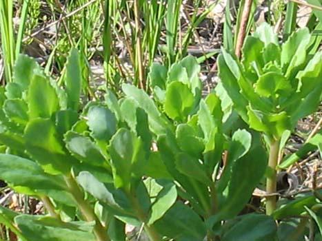 Salade d'orpin pourpre fruitée (photo de l'orpin) Orpinp10