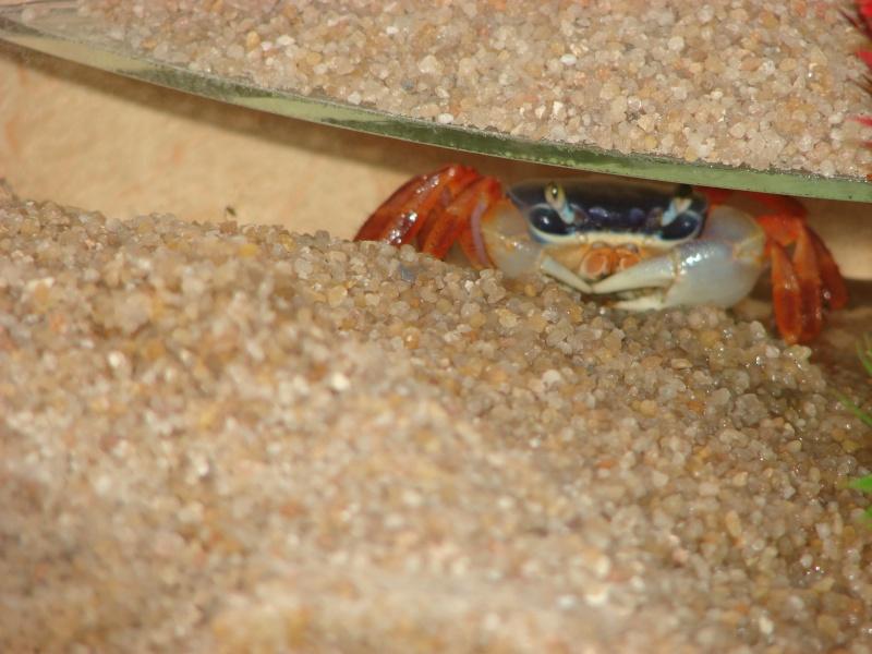 Cardisoma armatum - Crabe Arc-en-Ciel - Page 2 Dsc02517