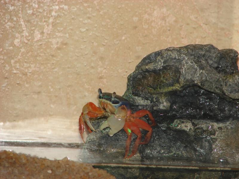Cardisoma armatum - Crabe Arc-en-Ciel - Page 2 Dsc02529