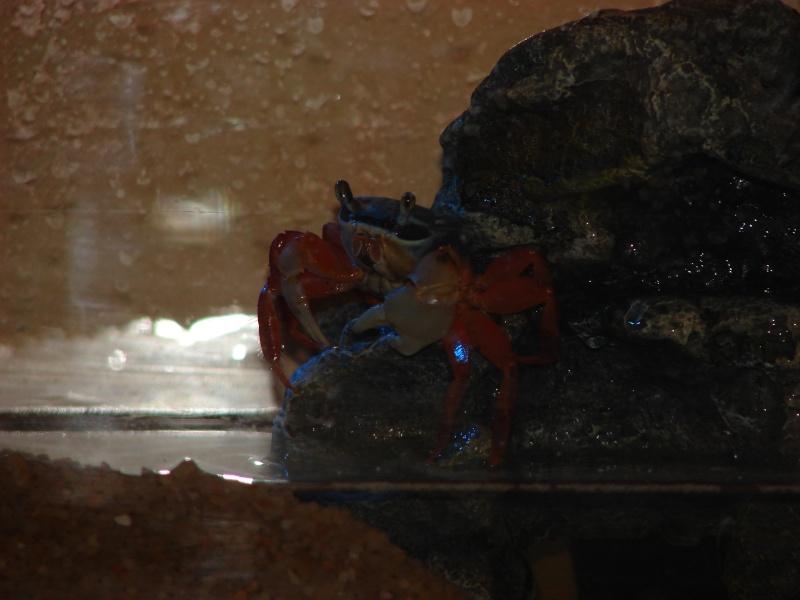 Cardisoma armatum - Crabe Arc-en-Ciel - Page 2 Dsc02530
