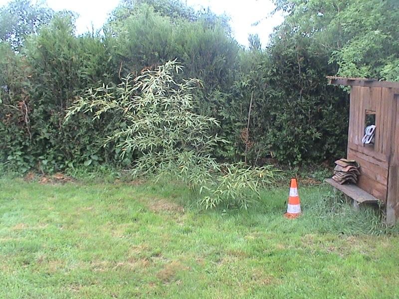 Dandrocalamus sp de 2 ans (Bambou) Serrem20