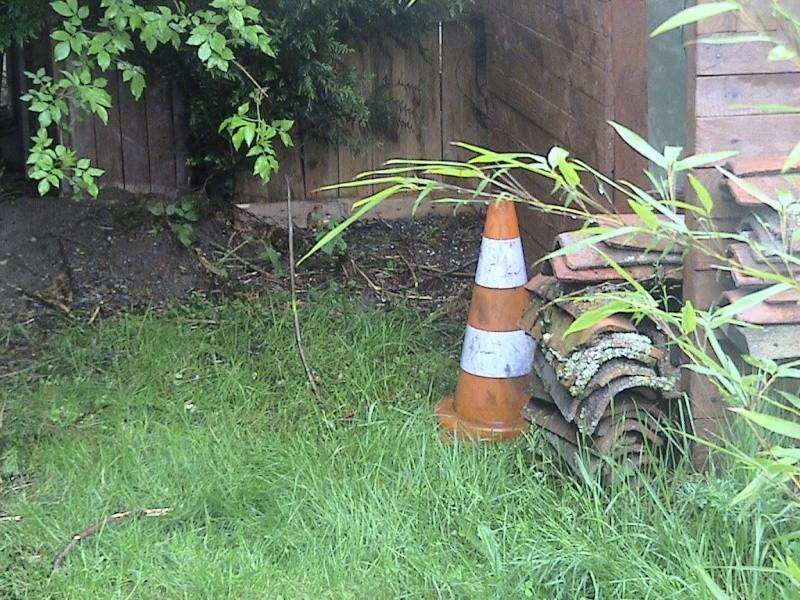 Dandrocalamus sp de 2 ans (Bambou) Serrem23