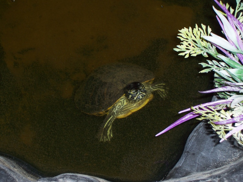 bassin d'intérieur pour tortues - Page 13 106_4224