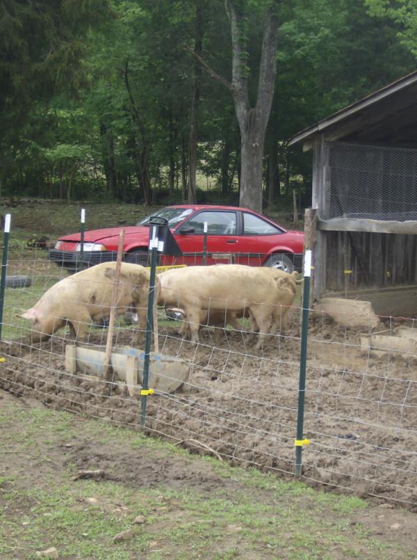 pig fencing 05_10_15