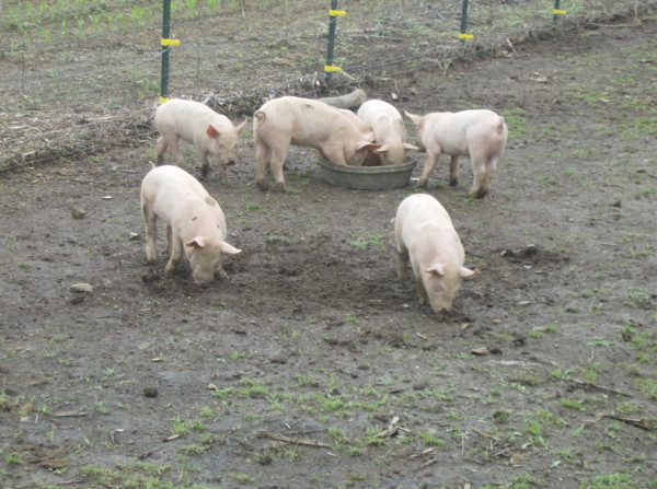 baby pigs 101 05_10_19