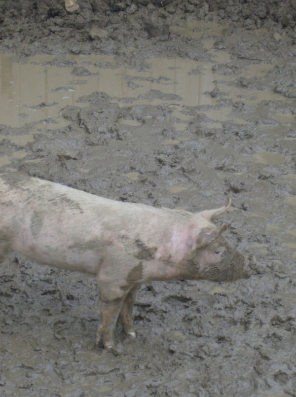 pigs and mud 05_24_14