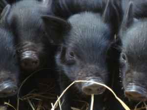Guinea Hogs 3kf3m010