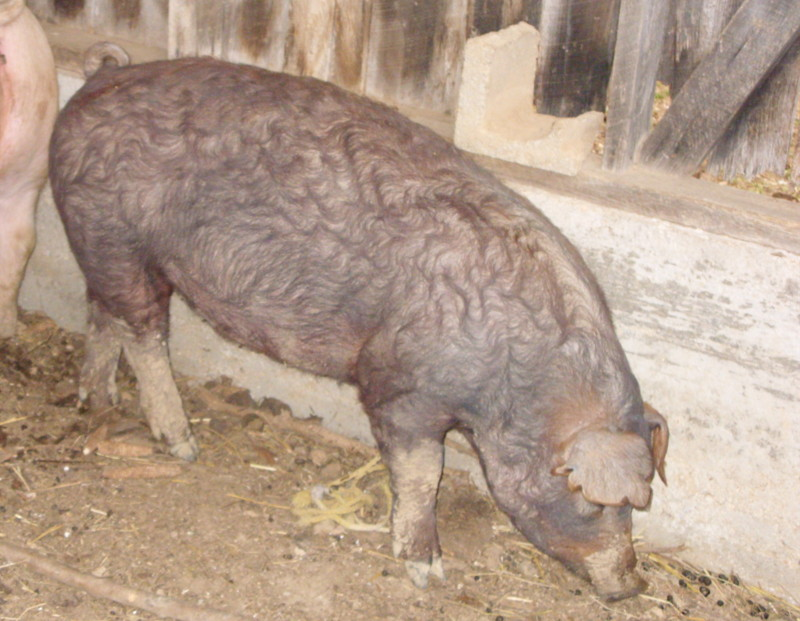 Ruby our duroc Sn850110