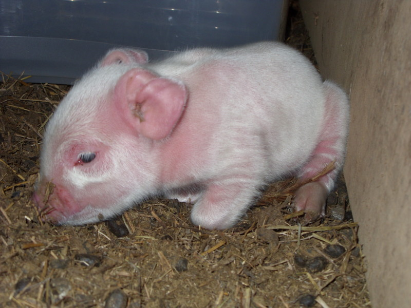 baby pigs 101 Sn850210