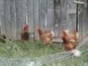 Got chickens for my birthday!! 010-810