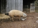 The two new pigs are here 01511