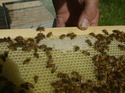 pics of the bees as of Sunday. 06_14_10